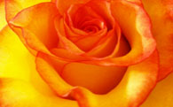 Yellow / Orange with Red Tip Rose